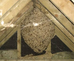 wasp nest removal