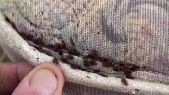 Bed bugs in seams of mattress